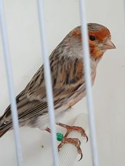 Kanarienvogel Hahn