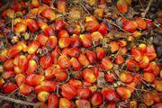 Palmöl zum Kochen Biodiesel und