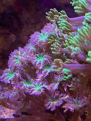 Meerwasser SPS LPS Korallen Zoas