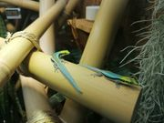 Phelsuma klemmeri Nachzuchten Taggecko