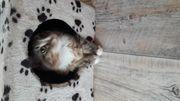 Maine coon katze abzugeben