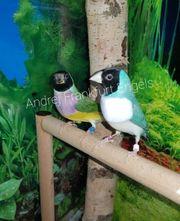 gouldamadinen Vögel