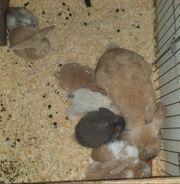 Mini Lop Zwergwidder Kaninchenbaby