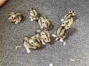 dsungarische Zwerghamster Zwerghamsterbabys Hamsterbabys Babyhamster