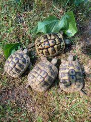 Griechische Landschildkröten Gruppe 4 Tiere