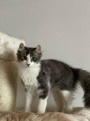 American Curl Mix Kitten suchen