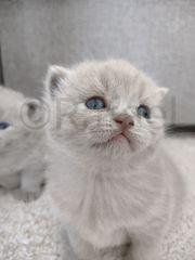 Reinrassige Bkh Kitten Lilac