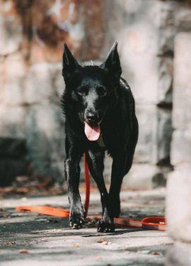 aufgeweckter kroat Schäferhund Mischlingsrüde Gyros: Kleinanzeigen aus Holzwickede - Rubrik Hunde