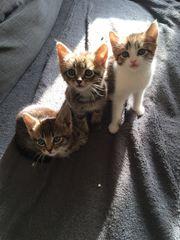 babykatzen 12 wochen alt