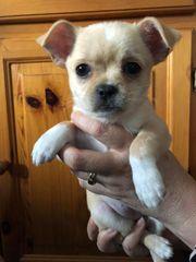 Chihuahua-Pekinese Welpen