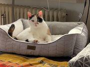 Katze Glückskatze umständehalber abzugeben