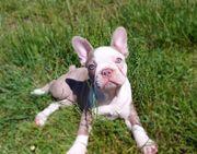 Französische Bulldogge Hündin Welpe Blau