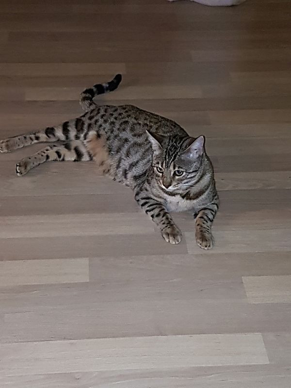 Wunderschöne reinrassige Bengal Katze