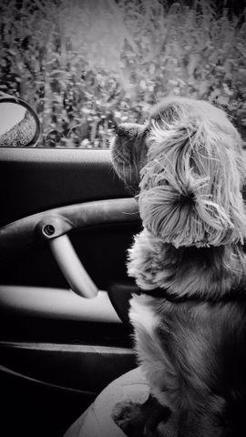Hunde - Deckrüde Cavalier King Charles Spaniel