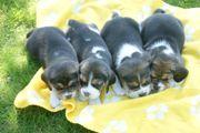 Beagle Welpen - ab Mitte Oktober