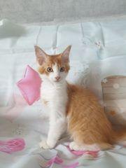 Süße Main Coon Kätzchen