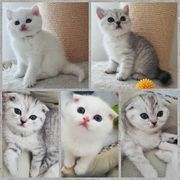 Schottisch Fold Straight Kitten