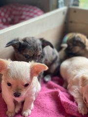reinrassige langhaar Chihuahuas