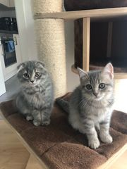 Bkh Kitten mit Starter Set