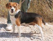 CALIFORNIA - Beagle-Schnut sucht schnuckeliges Zuhause