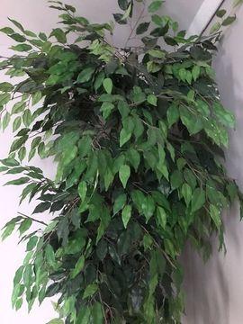 Bild 4 - Kunstbaum Ficus ca 240cm gebraucht - Nürnberg Almoshof