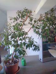 Ficus Benjamini ca 2 40m