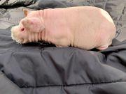 Skinny Pig Meerschweinchen männlich 4