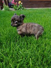 Chihuahuawelpen