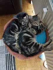 3 Monate alt 2 Kätzchen