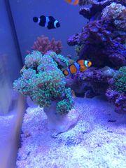 Korallen Ableger Meerwasser Meerwasseraquarium