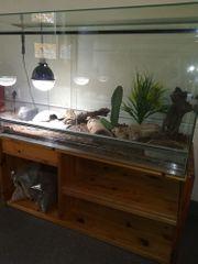 Gecko s mit Terrarium zu