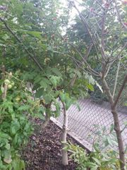 Gesunder Walnussbaum Walnuss Baum Pflanze