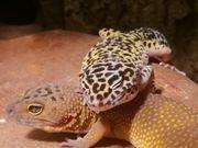 4 Leopardgeckos komplettes Zubehör