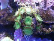 Zoanthus Krustenanemonen Korallen Ableger für