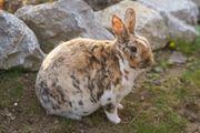 Rex-Kaninchen 5 J männl kastriert