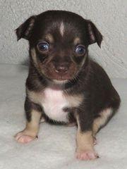 Chihuahua Prinz