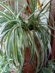 Chlorophytum mit liebe aufgewachsen