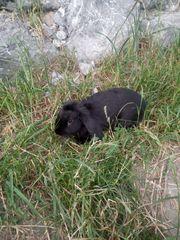 Kaninchen Hase