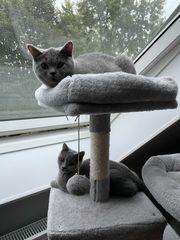 2 wunderschöne Bkh Kitten