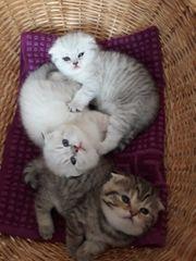 BKH-Baby Kätzchen