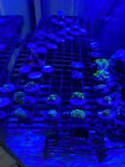 Verschiedene Korallen Ableger ab 2