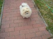 Pomeranian Hündin 11 Monate abzugeben