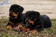 Wunderschöne Rottweiler Junghunde mit FCI