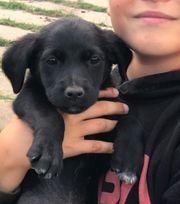Labrador Mix Welpen Tiermarkt Tiere Kaufen Quoka De