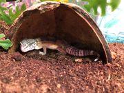 Leopardgecko klein lat Eublepharis macularius