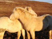 schicker junger Isländer Wallach in