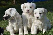 bezaubernde Tibet Terrier in allen