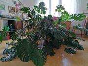 Grünpflanze MONSTERA
