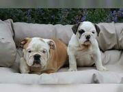Wunderschönen Englische Bulldogge Welpen