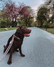 Labrador Deckrüde Schoko kein Verkauf